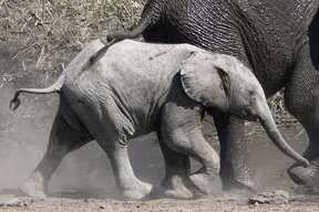 Elephants play in Namibia's Etosha National Park.