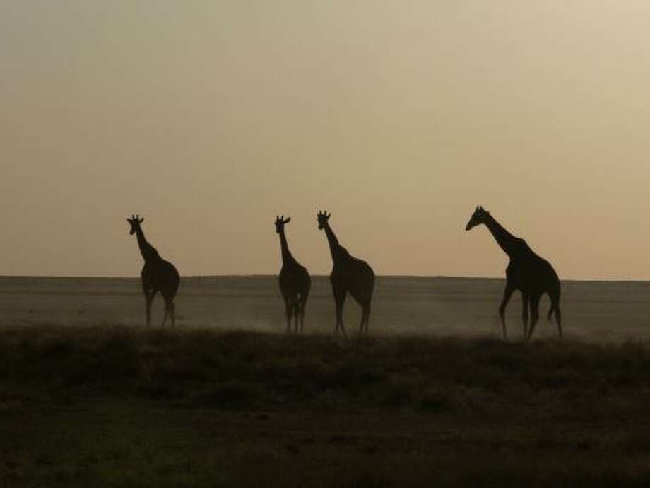Giraffes in Namibia's Etosha National Park. Photo: Ute Von Ludwiger, Associated Press