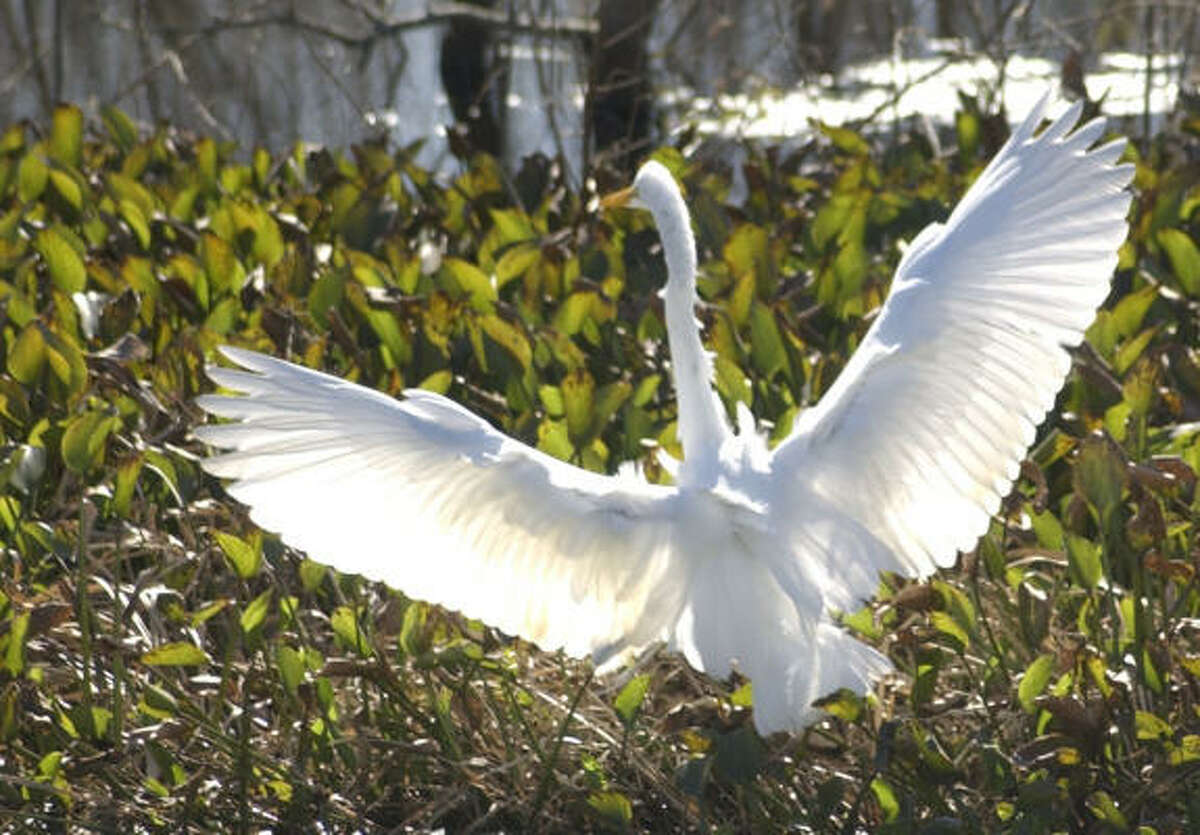 A great egret stretches its wings as it prepares to take flight from its Brazos Bend State Park perch.