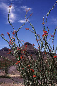 Ocotillo blooms in Big Bend Ranch State Park. Photo: Jim Carr, Texas Parks & Wildlife Dept.