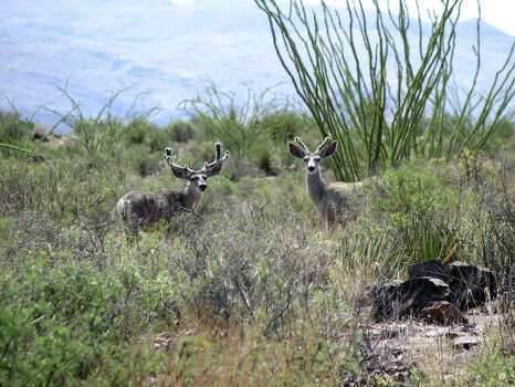 Mule deer are among the dozens of species of wildlife found at Big Bend Ranch. Mountain lions are also present in the park. Photo: Texas Parks & Wildlife Dept