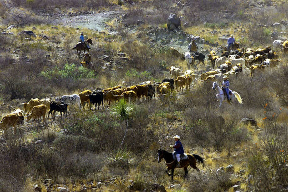 City folk join Texas Parks and Wildlife Department cowboys on a longhorn cattle roundup at Big Bend Ranch State Park in 2000. The park's Texas longhorn herd, a remnant of the property's ranching heritage remains a topic of debate in the state legislature. Photo: DAVID KENNEDY, Associated Press