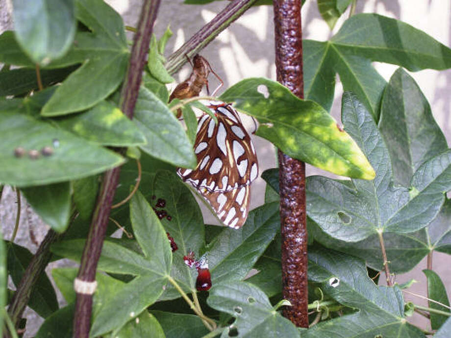A newly emerged Gulf frittilary butterfly visits a yellow passion vine in a Tanglewood area garden. Photo: Jennifer Tuttle Arnold