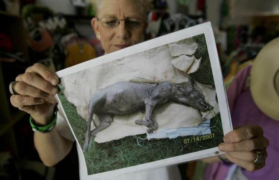 Phylis Canion holds a photo of what she thinks could be a chupacabra in Cuero, Texas. She found the strange looking animal dead outside her ranch and thinks it is responsible for killing many of her chickens. Photo: Eric Gay, AP