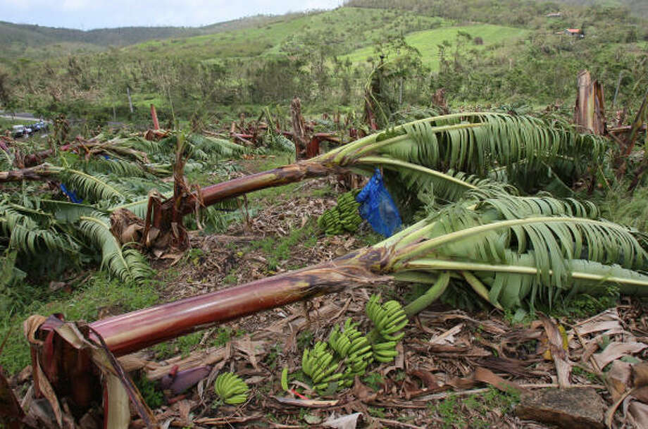 A photo taken Saturday in Fort-de-France, in the French Carribean island of Martinique, shows banana trees flattened as a result of Hurricane Dean. Photo: PIERRE VERDY, AFP/Getty Images