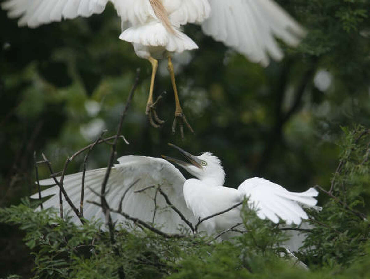 A cattle egret scares off another egret to take its spot on a tree branch in an empty parking lot where hundreds of birds have made it their home along Bissonnet and South Glenn. This natural wonder was offered by a reader.