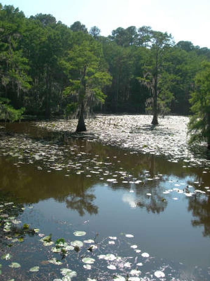 Caddo lake state park houston chronicle for Caddo lake fishing