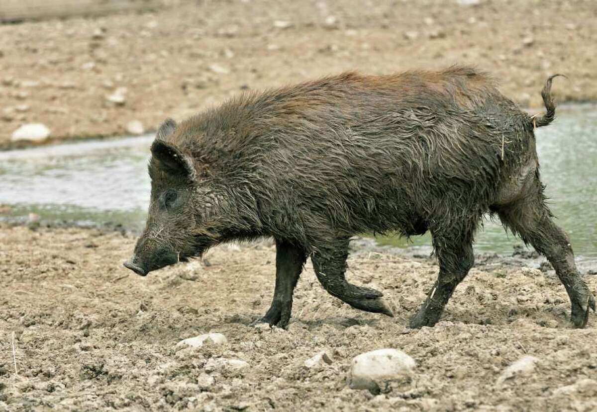 A Russian wild boar in the breeding pen at Easton View Outfitters in Valley Falls. (John Carl D'Annibale / Times Union)