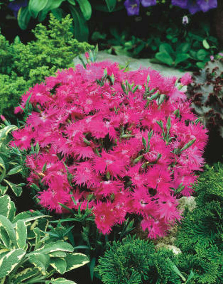 Nearly a dozen new ornamentals and edibles are headed our way. Presenting award winners from All-America Selections:Supra Purple dianthus. Photo: All-America Selections