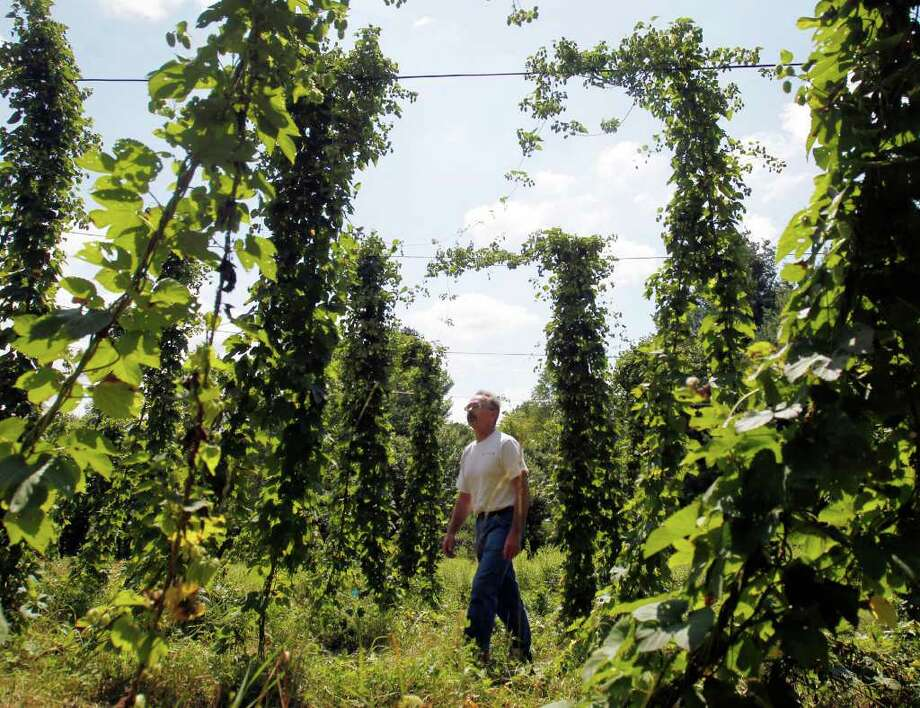 In this Aug. 4, 2011 photo, Tom Riley walks through a hop yard at his Groveside Naturals Farm in Pittstown, N.Y. Once the center of hop production for America's breweries, New York state is seeing a small-scale renaissance of hop farming to satisfy a growing demand for locally grown ingredients to make regional craft beers and homemade brews. (AP Photo/Mike Groll) Photo: Mike Groll