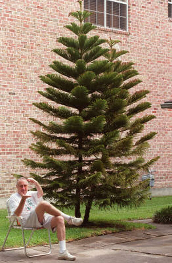 E.F. Furler demonstrates in 2002 the original size of his Norfolk pines when planted in pots. They were later planted in his front yard in Bellaire. Photo: John Everett, Chronicle