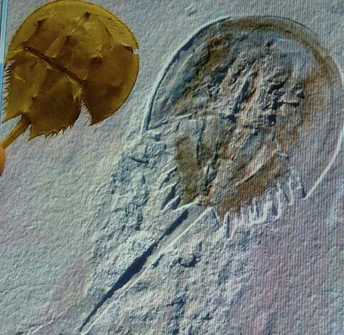 Prehistoric Horseshoe Crabs Modern Day Horseshoe Crab