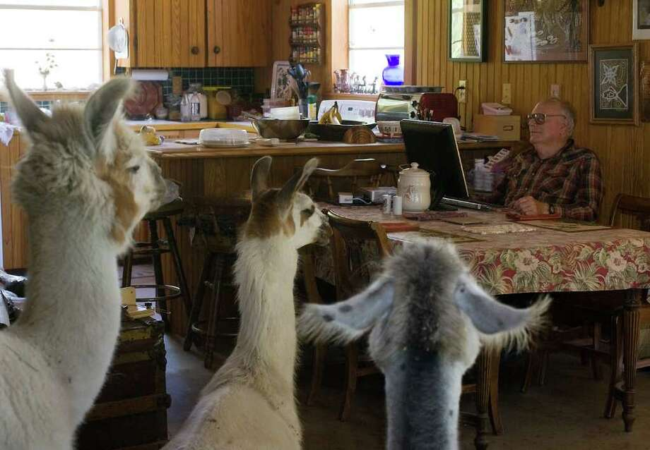 In this photo taken Aug. 18, 2011, Claud Bramblett , a retired professor who taught at the University of Texas, surfs the Internet in his home as his pet llamas cool off inside, in Manor, Texas. Claud and Sharon Bramblett, who both retired from working in academia, own 10 llamas. During the summer head, they allow the llamas into the house so that they can cool down on the abode's cement floors. (AP Photo/Austin American-Statesman, Zach Ornitz) Photo: Zach Ornitz, MBR / Austin American-Statesman