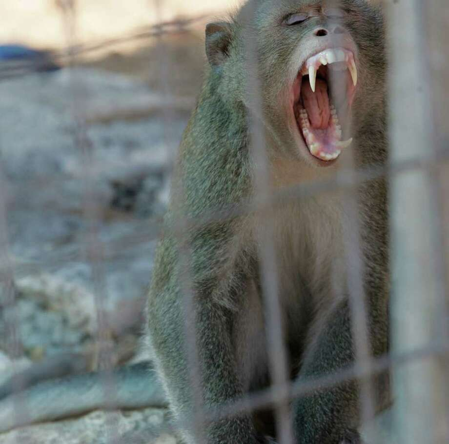 In what appears to the uninformed as more of a yawn, Tonks, a macaque alpha-male displays his teeth in a sign of aggression or dominance, Monday, August 15, 2011 at Primarily Primates outside of San Antonio. Four primates rescued in Tennessee are currently under quarantine at the facility and pending medical tests, three will likely become residents while a Japanese Macaque will likely be places at the Dilley preserve for the species. Photo: J. MICHAEL SHORT, J. Michael Short/Special To The Express-News / THE SAN ANTONIO EXPRESS-NEWS