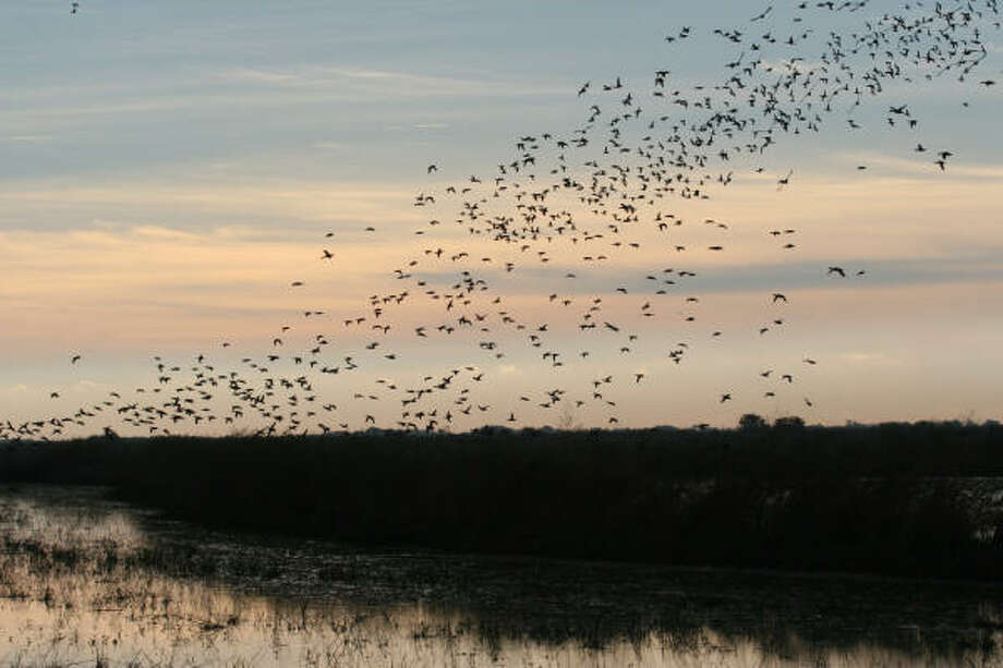 Texas waterfowlers will see another year of liberal hunting regulations and a record-setting fall flight of ducks. But the drought's impact promises to place a premium on available bird-attracting wetlands. Photo: Shannon Tompkins, Chronicle