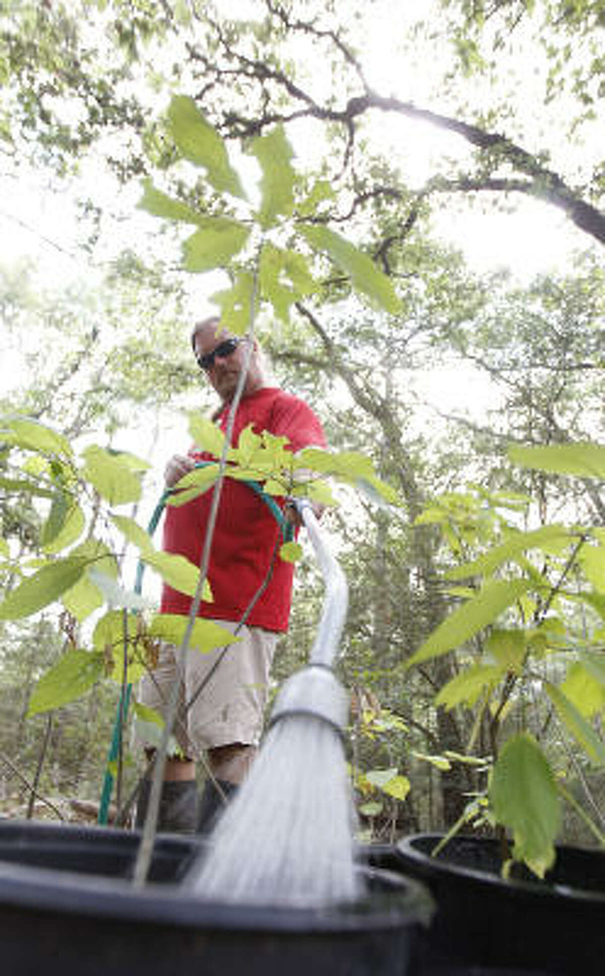 Jim Crabb, facilities manager for the Houston Arboretum and Nature Center, waters baby trees in pots with a hand held sprinkler system as he tends to the thirsty trees at the Arboretum, on Tuesday in Houston. Trees require dozens of gallons of water each week to remain healthy.