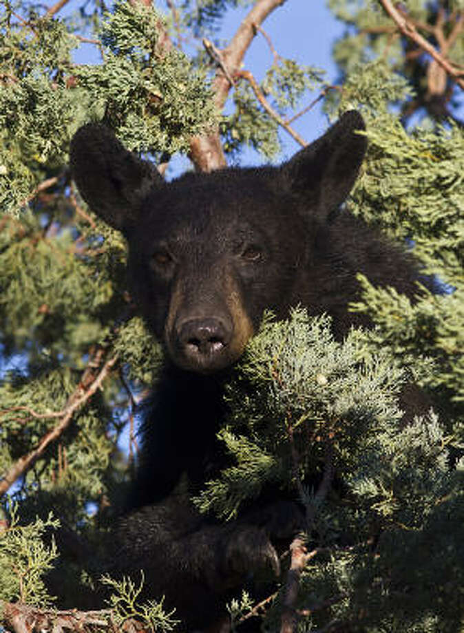 A black bear in Big Bend National Park feeds on juniper berries. The bears in Big Bend have been driven into the Chisos Mountains Basin area by the lack of water in surrounding highlands. Photo: Kathy Adams Clark