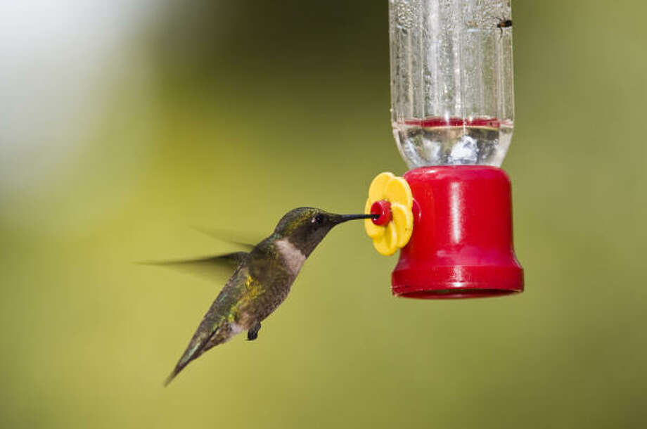 Many people are eagerly awaiting the arrival of ruby-throated hummingbirds. Photo: Kathy Adams Clark