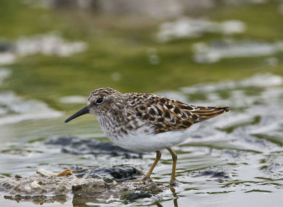 Shorebirds, such as this least sandpiper, are showing up along Texas coastlines and marshes as they migrate south to wintering grounds. Photo: Kathy Adams Clark