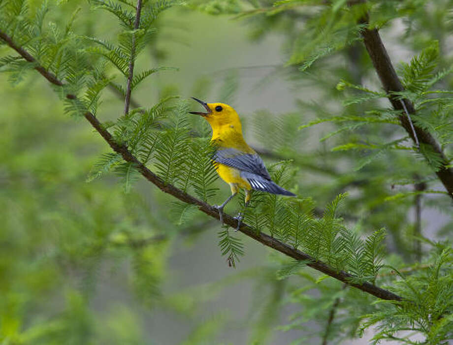 The drought appears to be having an impact on nesting songbirds such as the prothonotary warbler. Lack of water and insects will weaken adults and chicks. Photo: Kathy Adams Clark
