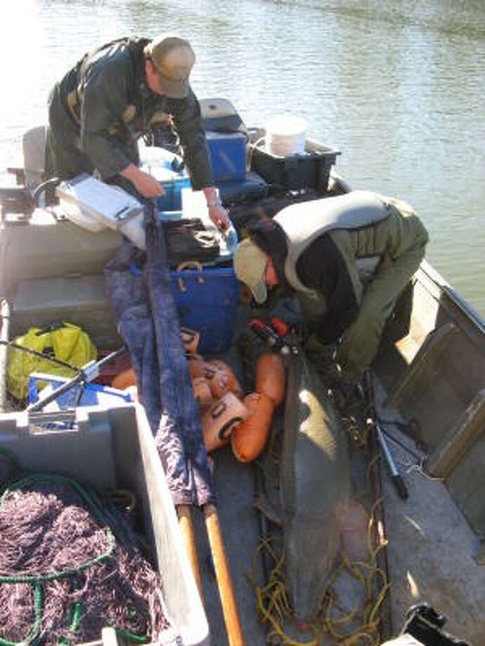 State biologists attach tags and transmitters to an alligator gar from the Trinity River in an effort to protect the species. Three men are accused of taking the fish out of the river and illegally transporting them into Tokyo. Photo: Texas Parks And Wildlife