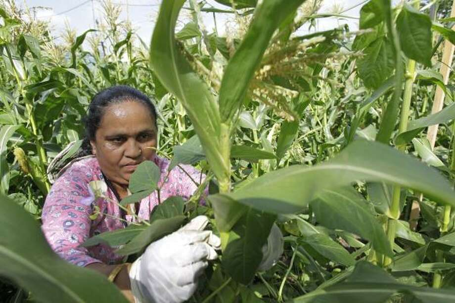 Bhakti Chamlagai, a refugee from Bhutan, wraps long bean plants around cornstalks in the Alliance for Multicultural Community Services garden. Photo: Melissa Phillip, Houston Chronicle