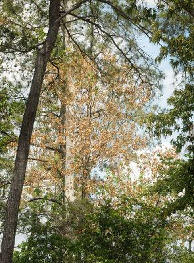 DAVID HOPPER: FOR THE CHRONICLE SIGN OF THE TIMES: A tree on Ashlane Way near the Mitchell Library in The Woodlands shows damage from the severe drought conditions in the region. Photo: David Hopper, For The Chronicle
