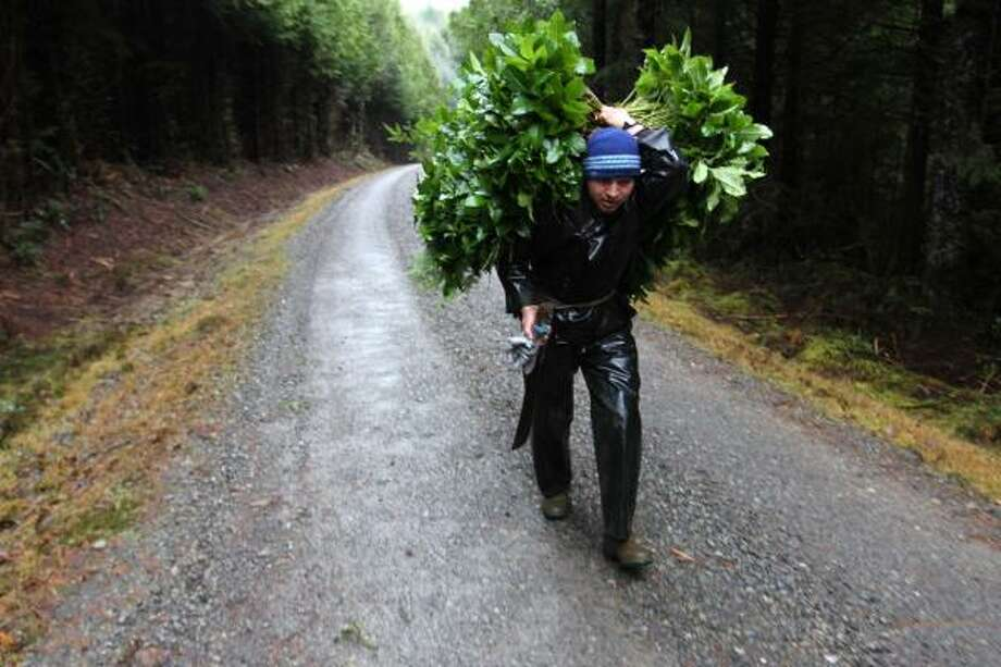 Un inmigrante guatemalteco trabaja en Forks, Washington. Photo: Manuel Valdes, Associated Press
