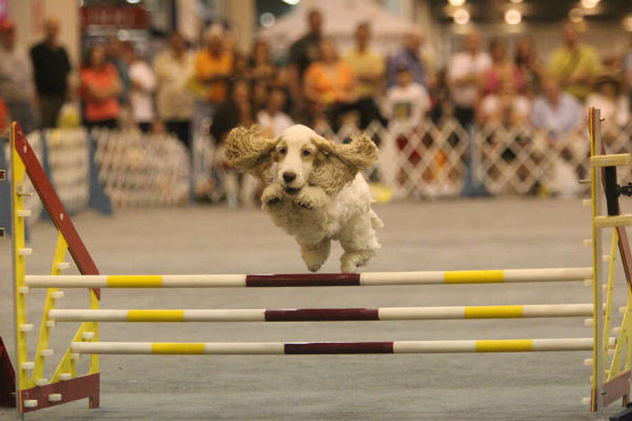 Jack, an English cocker spaniel, jumps over a hurdle while competing at the Reliant Park World Series of Dog Shows last year. Photo: Mayra Beltran, Chronicle