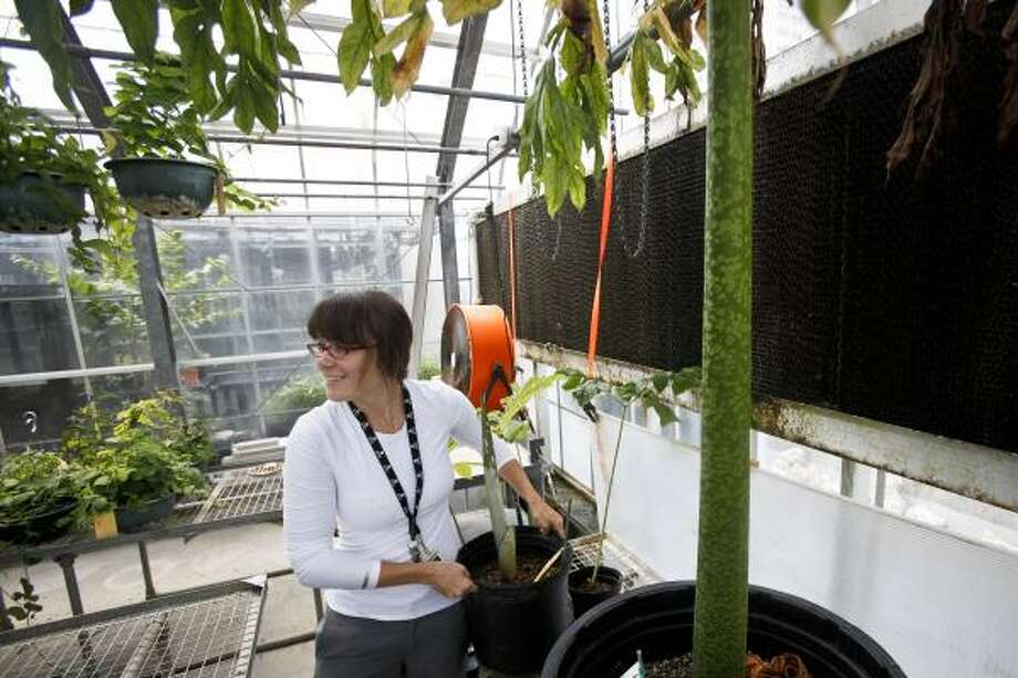 Soni Holladay, greenhouse manager and horticulturist at the Houston Museum of Natural Science, displays a newly donated corpse flower in the museum's greenhouse. At right is Lois, a corpse flower that bloomed last July. Photo: Michael Paulsen, Houston Chronicle