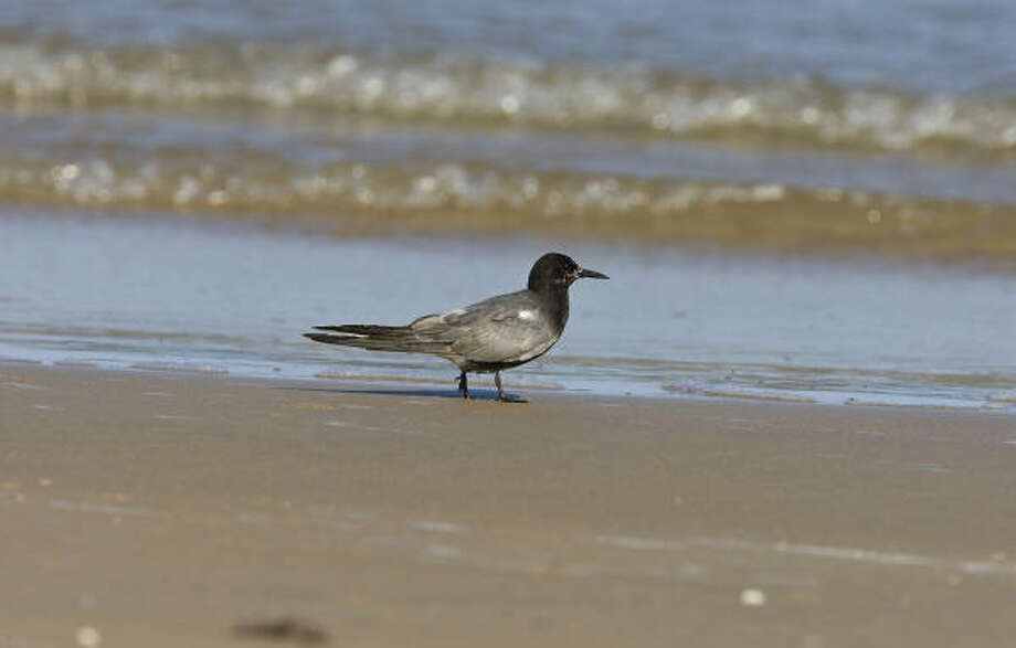 Black terns can be found along beaches and lake shores in Texas from midsummer to fall. Photo: Kathy Adams Clark