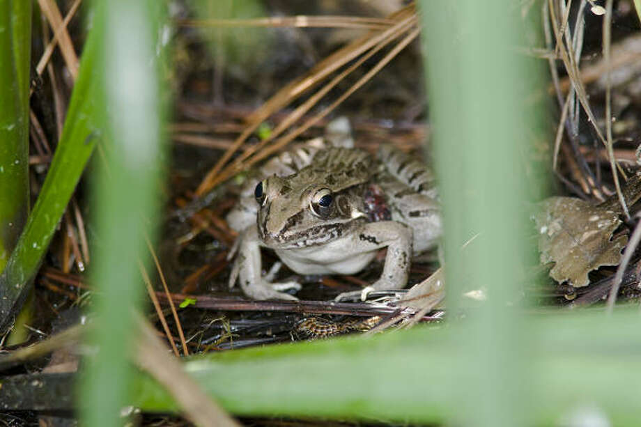 Southern leopard frogs utter a quick series of hoarse chirps followed by a series of scratchy-sounding, drawn-out croaking sounds. Photo: Kathy Adams Clark