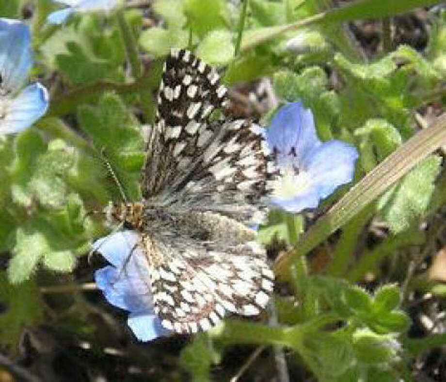 The butterfly is found in Mississippi and Texas.