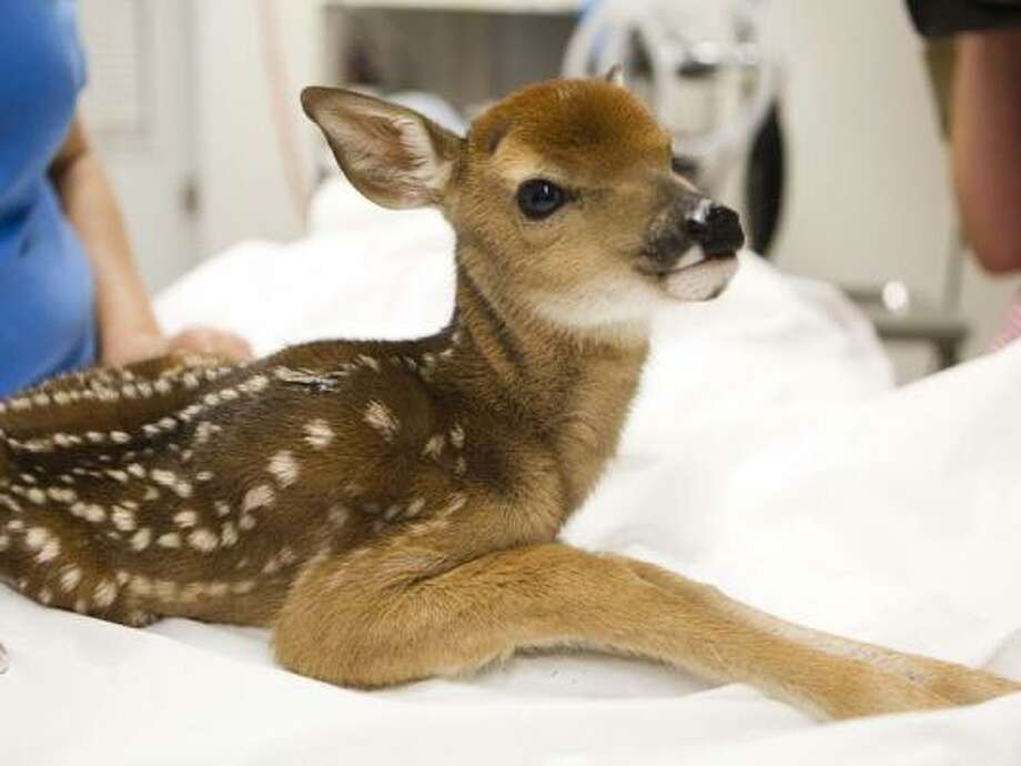 This fawn was transported from Grimes County to Houston on Tuesday. She's just a few weeks old and was rescued from the wildfires. Photo: Brett Coomer, Chronicle