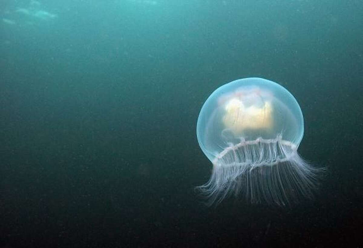 Moon jellyfish are common in Gulf Coast waters.