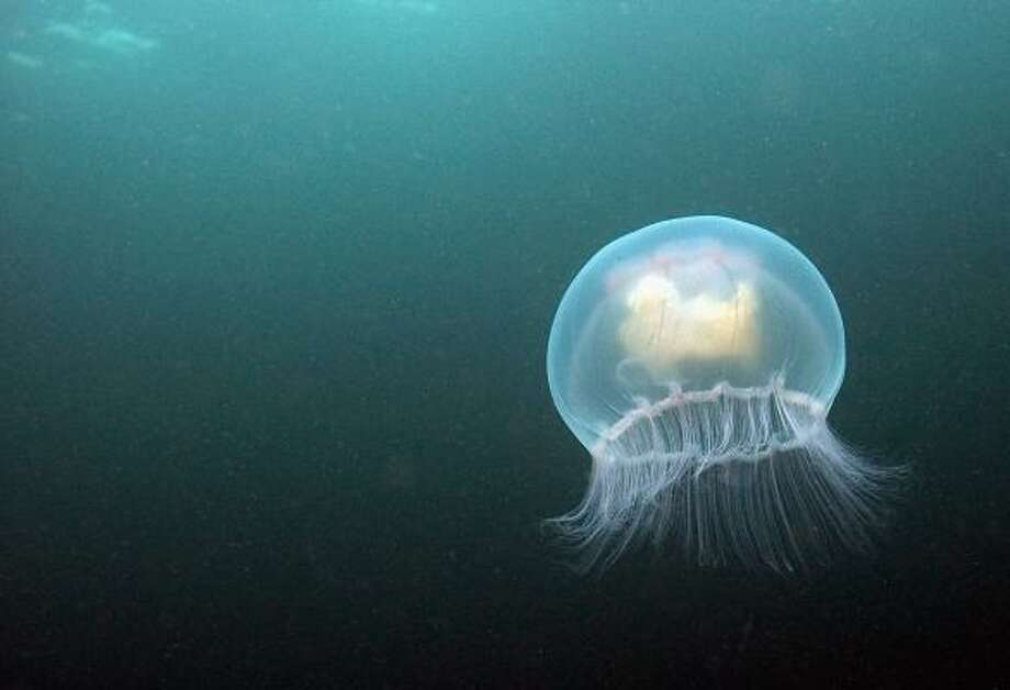 Moon jellyfish are common in Gulf Coast waters. Photo: Dan Kitwood, Getty