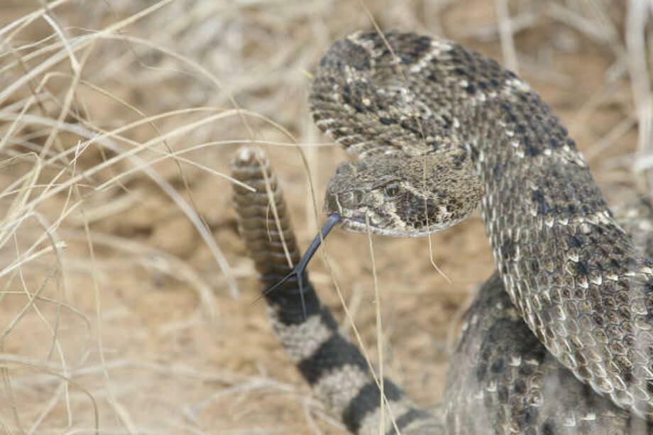 Western diamondback rattlesnake Photo: Shannon Tompkins, Houston Chronicle