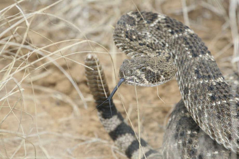 Western diamondback rattlesnake Photo: Shannon Tompkins, Houston Chronicle