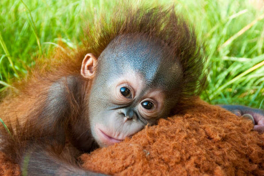 Four-month-old Aurora is being raised by hand by a crew working to prepare her to join the Houston Zoo's six other orangutans. Photo: Stephanie Adams, Houston Zoo