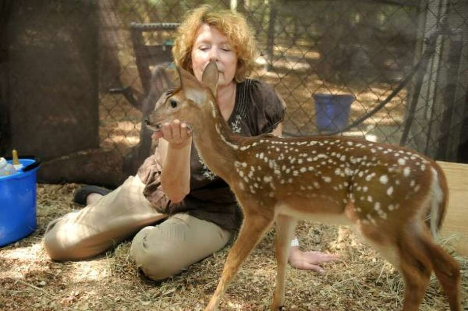 Texas Wildlife volunteer Janette Winkelmann finishes her morning bottle feeding of the nine fawns in a pen at her Magnolia home. Photo: Jerry Baker, For The Chronicle