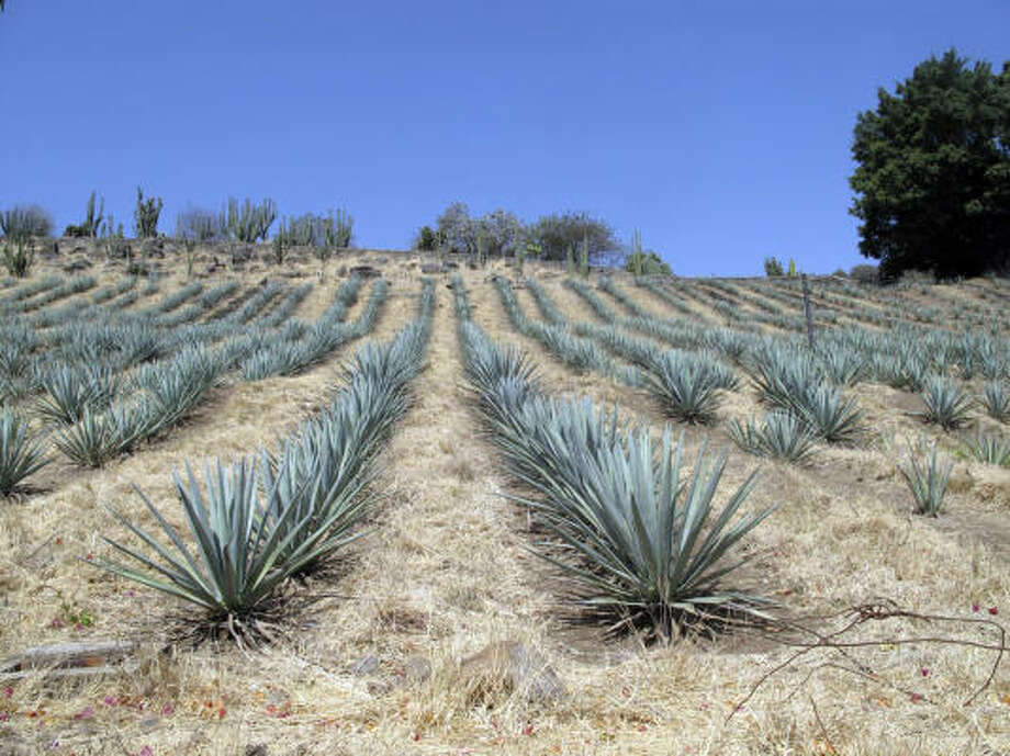 Agave growing on a hillside at Destileria la Fortaleza in Tequila, Mexico. Photo: Tracie Cone, Associated Press