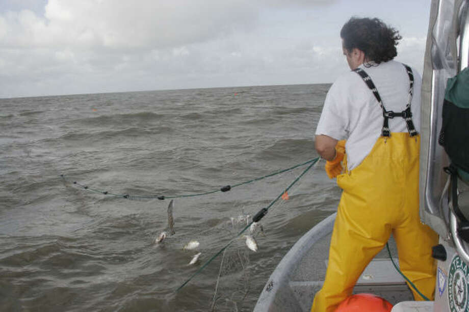 This spring's standardized gill net surveys (45 net sets per bay system), conducted by Texas coastal fisheries staff, indicated the state's inshore marine fish avoided serious damage from February's freeze and are thriving, with some bays seeing record catch rates. Photo: Shannon Tompkins, Chronicle