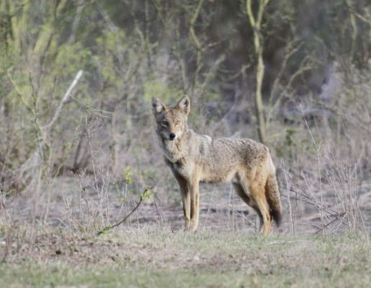 Coyotes are one of several species of wildlife invading yards and neighborhoods across Texas, often during the day, as hot, dry conditions reduce their natural water and food supplies.