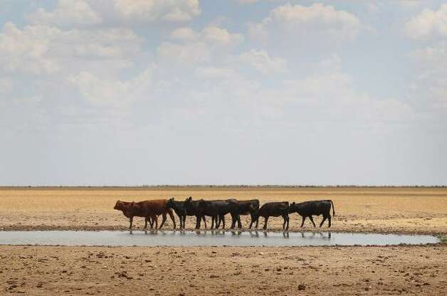 Cattle rest at a watering hole in a pasture near Canadian, Texas. Photo: Scott Olson, Getty