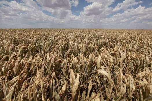 A corn crop dries up in a field near Perryton, Texas. A severe drought has caused most dry-land (non-irrigated) crops in the area to fail and forced farmers to abandon some fields in order to conserve their limited resources. The past nine months have been the driest in Texas since record keeping began in 1895, with 75% of the state classified as exceptional drought, the worst level. Photo: Scott Olson, Getty
