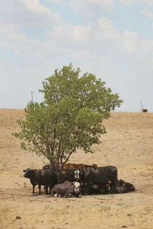 Cattle use a tree for shade as temperatures rose above 100 degrees in a pasture near Canadian, Texas. A severe drought has caused shortages of grass, hay and water, in much of the state, forcing ranchers to thin their herds or risk losing their cattle to the drought. The past nine months have been the driest in Texas since record keeping began in 1895, with 75% of the state classified as exceptional drought, the worst level. Photo: Scott Olson, Getty