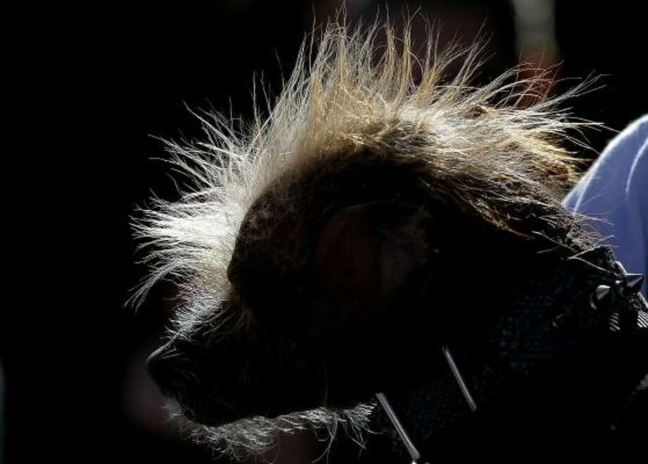 The hair of a Chinese Crested dog is seen lit by the sun during the 23rd Annual World's Ugliest Dog Contest. Photo: Justin Sullivan, Getty