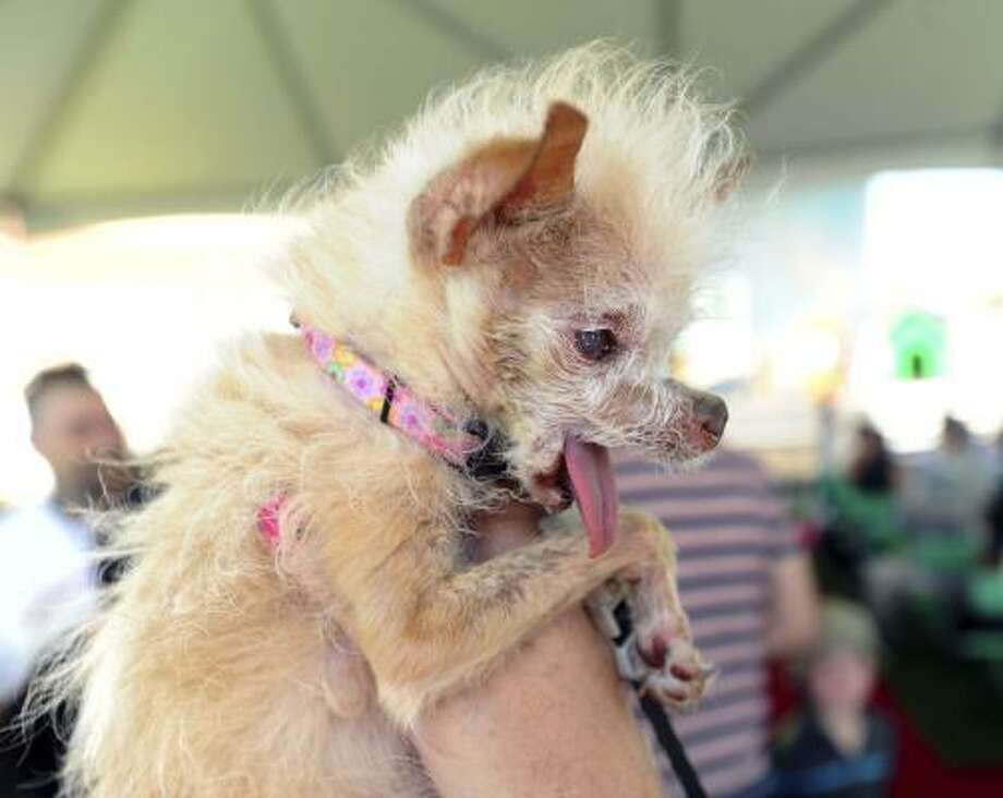 Yoda, a 14-year-old Chinese Crested and Chihuahua mix took home the title of World's Ugliest Dog. Photo: Noah Berger, Associated Press
