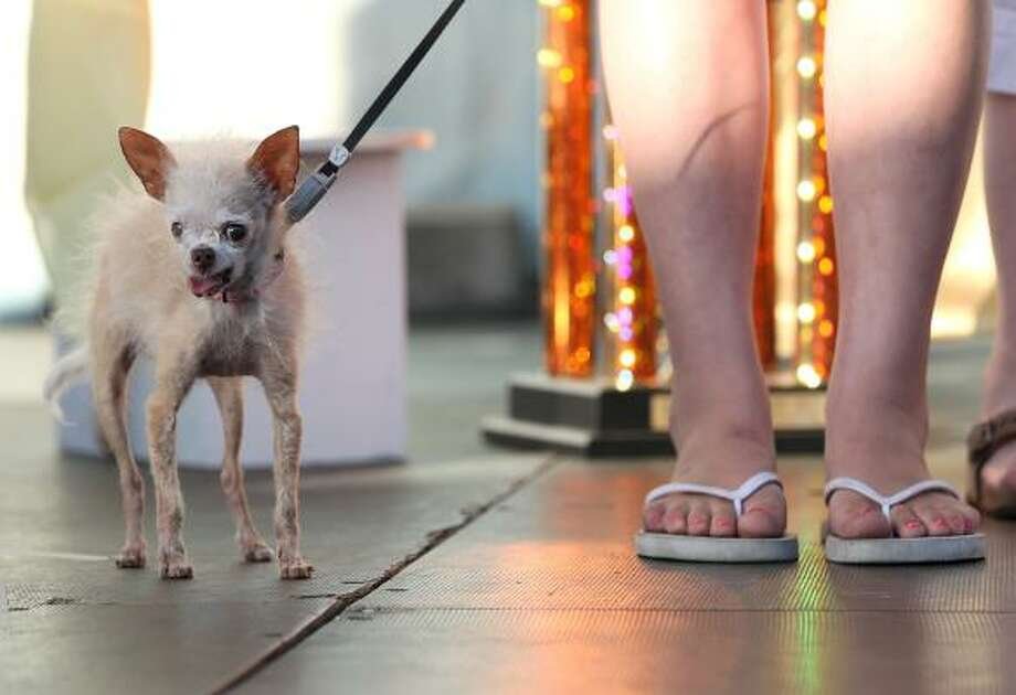 Yoda, winner of the World's Ugliest Dog title. Photo: Justin Sullivan, Getty
