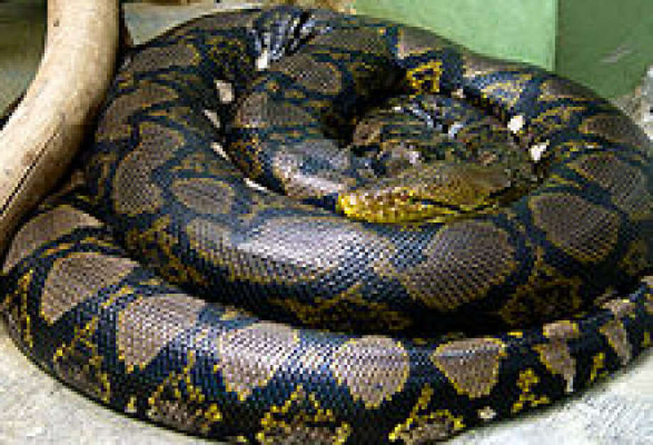 This is a reticulated python, similar to what a family found outside their home in the Cincinnati area. Photo: Wikipedia
